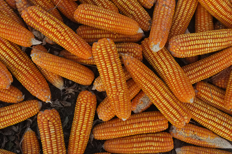 Corn exports a win-win for the US and Africa